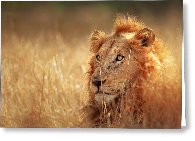 Grasslands Greeting Cards - Lion in grass Greeting Card by Johan Swanepoel