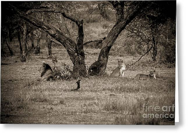 Satisfaction Greeting Cards - Lion in the Dog House BW Greeting Card by Darcy Michaelchuk