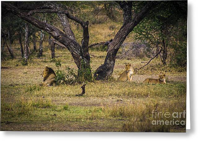 Satisfaction Greeting Cards - Lion in the Dog House Greeting Card by Darcy Michaelchuk