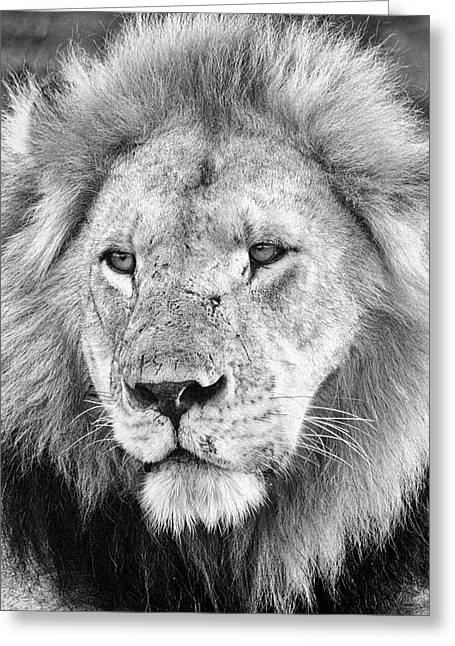 Monochrome Greeting Cards - Lion King Greeting Card by Adam Romanowicz