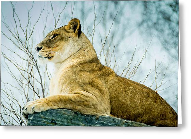 Noregur Greeting Cards - Lion Greeting Card by Mirra Photography