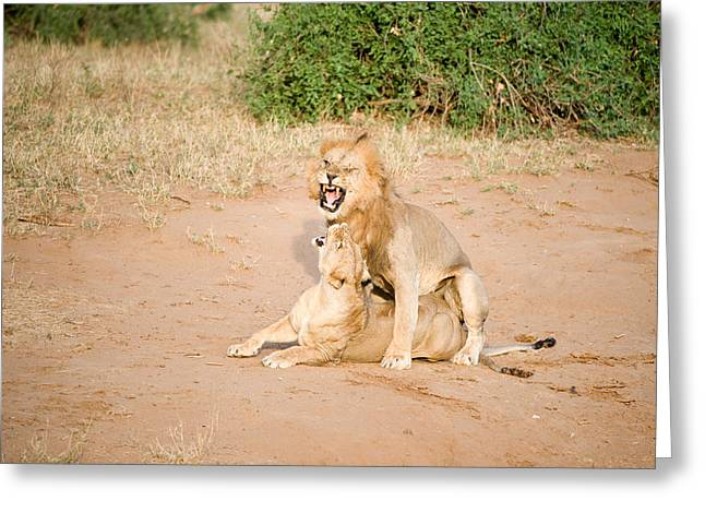 Rift Greeting Cards - Lion Pair Panthera Leo Mating Greeting Card by Panoramic Images