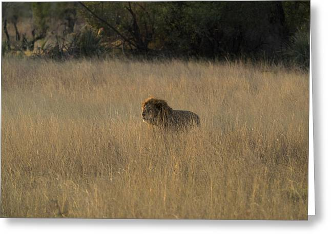 Lion Panthera Leo In Tall Grass That Greeting Card by Panoramic Images