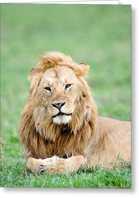 Panthera Leo Greeting Cards - Lion Panthera Leo Lying In Grass, Masai Greeting Card by Panoramic Images