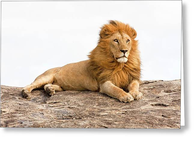 Lion Panthera Leo Greeting Card by Photostock-israel