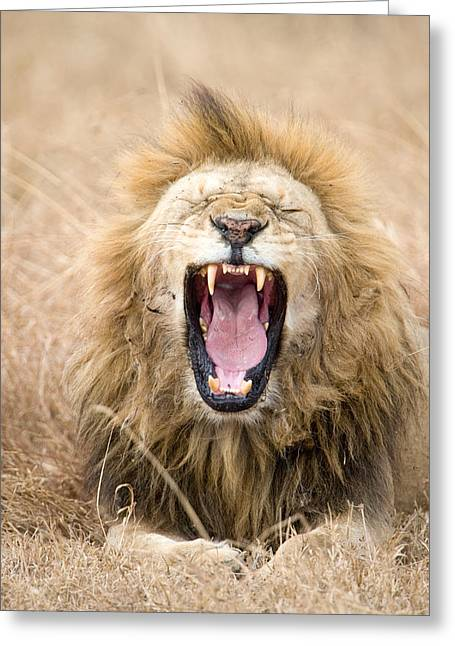 Laziness Greeting Cards - Lion Panthera Leo Yawning In A Forest Greeting Card by Panoramic Images