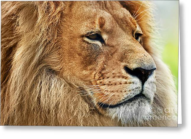 Majestic Cat Greeting Cards - Lion portrait with rich mane on savanna Greeting Card by Michal Bednarek