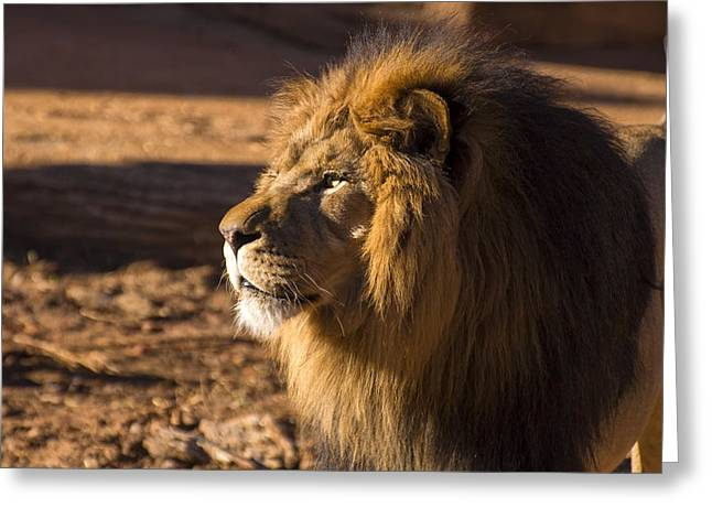 Animal Pics Greeting Cards - Lion Profile Greeting Card by Chris Flees