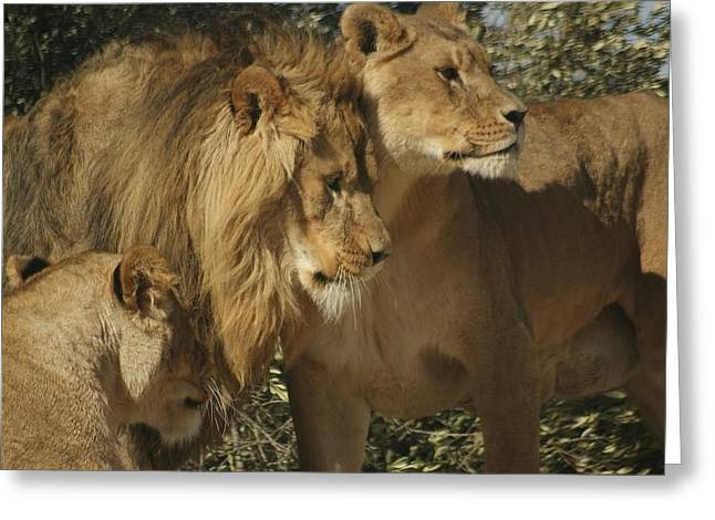 Lions Pyrography Greeting Cards - Lion Reunion Greeting Card by Jamie Bishop