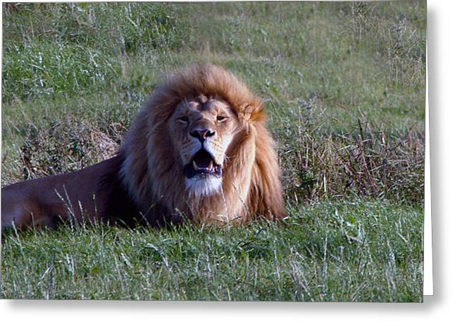 Lioness Greeting Cards - Lion roaring Greeting Card by Andrew Barke