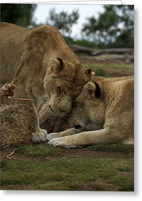 Sisterly Greeting Cards - Lion Smooch Greeting Card by Graham Palmer