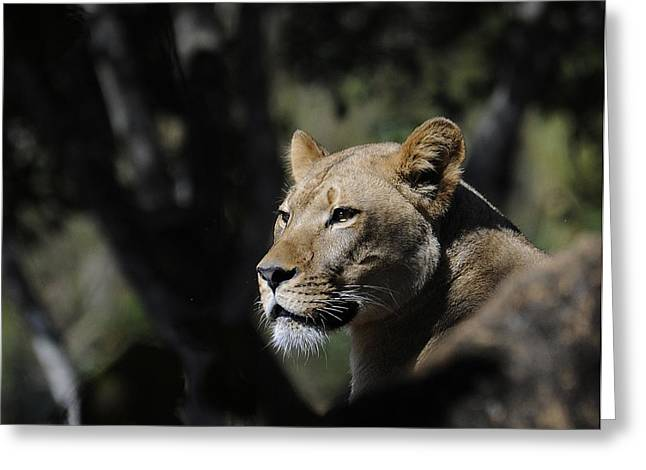 Hiding Pyrography Greeting Cards - Lion Watching Greeting Card by Keith Lovejoy