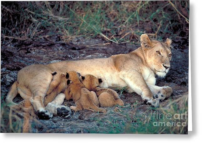 Lioness Greeting Cards - Lioness And Cubs Greeting Card by Gregory G. Dimijian