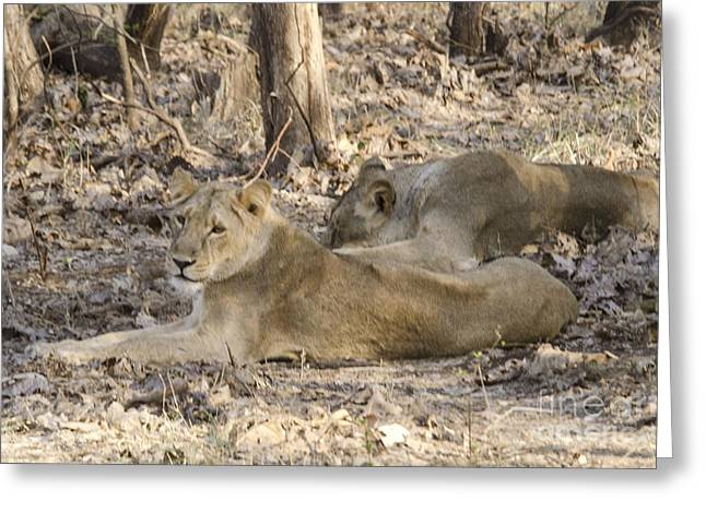 Photography Greeting Cards - Lioness at Gir Greeting Card by Pravine Chester