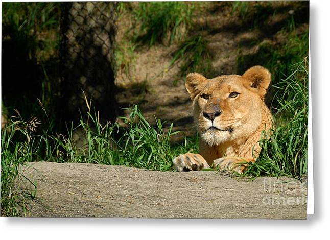 Paws Greeting Cards - Lioness at Pittsburgh Zoo Greeting Card by Amy Cicconi