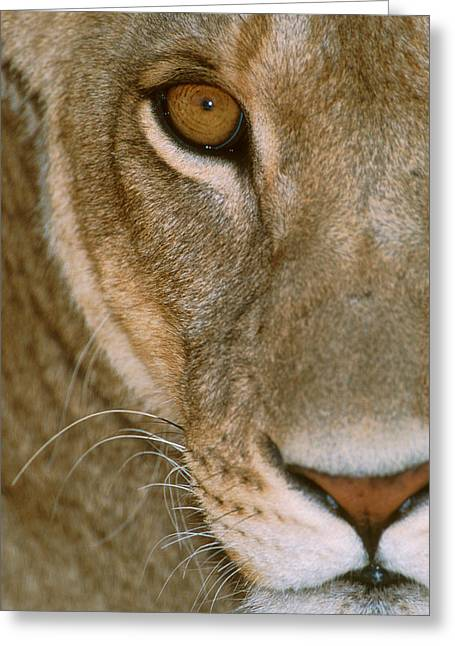 Ahead Greeting Cards - Lioness Close-up Tanzania Africa Greeting Card by Panoramic Images