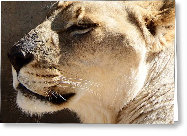 Lioness Greeting Card by David G Paul