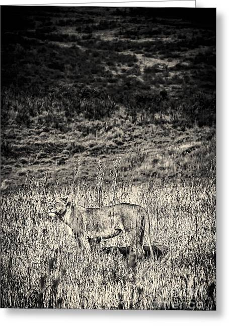 Lioness Greeting Cards - Lioness Looks Around BW Greeting Card by Darcy Michaelchuk