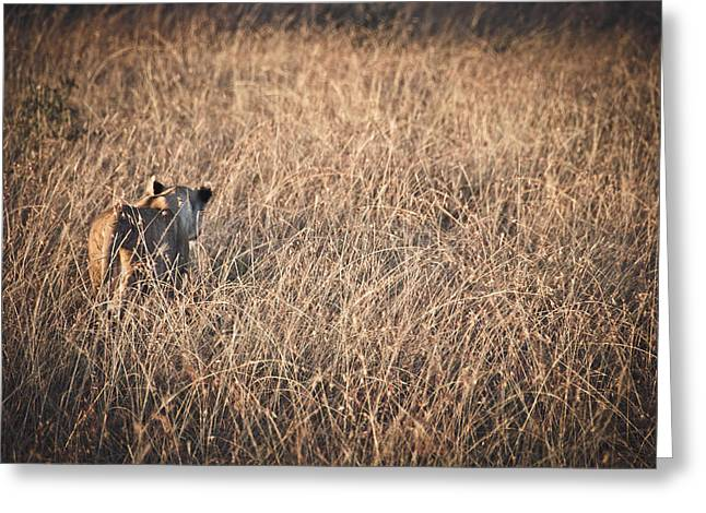 Serengeti Lioness Greeting Cards - Lioness  Greeting Card by Mesha Zelkovich