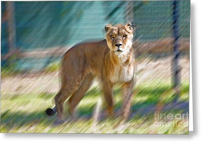 Lioness Greeting Cards - Lioness Greeting Card by Miroslava Jurcik