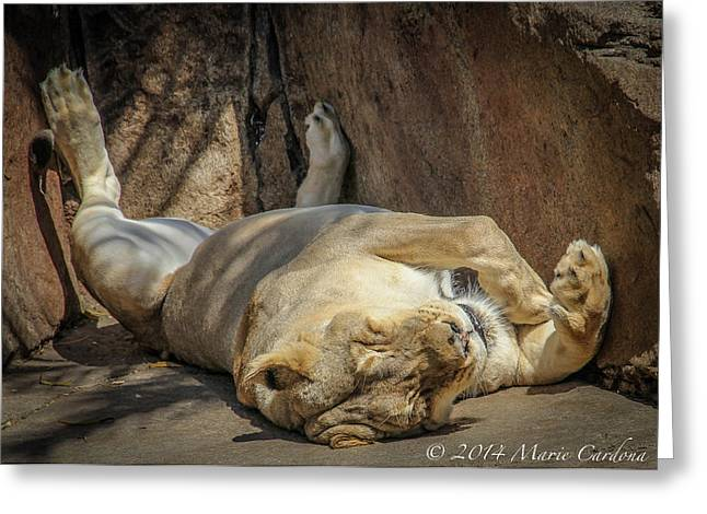Lioness Greeting Cards - Lioness Nap Greeting Card by Marie  Cardona