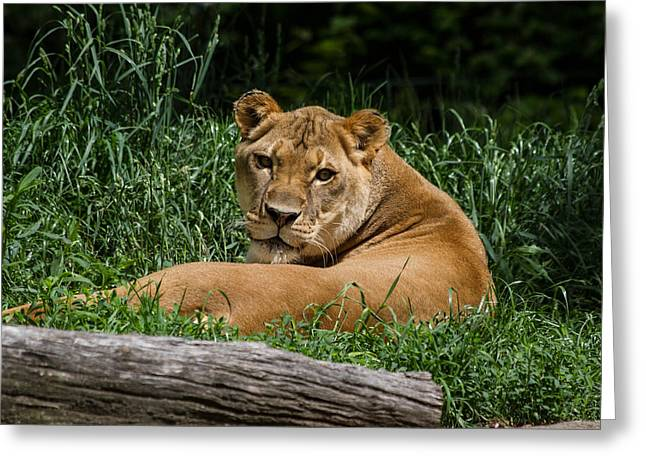 Pittsburgh Zoo Greeting Cards - Lioness Greeting Card by Neil Smilek