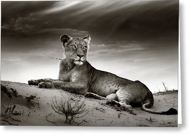 Dunes Greeting Cards - Lioness on desert dune Greeting Card by Johan Swanepoel