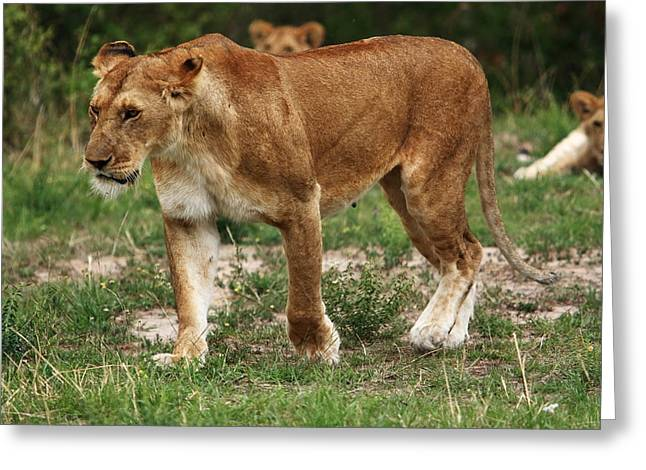 Lioness Greeting Cards - Lioness On The Masai Mara Greeting Card by Aidan Moran