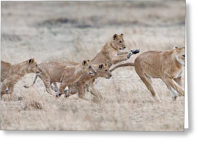 Panthera Leo Greeting Cards - Lioness Panthera Leo And Cubs At Play Greeting Card by Panoramic Images