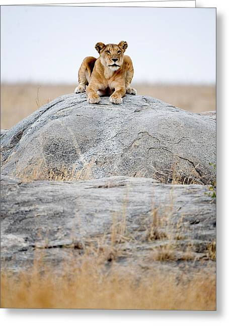 Panthera Leo Greeting Cards - Lioness Panthera Leo Sitting On A Rock Greeting Card by Panoramic Images