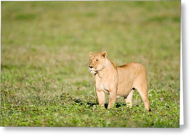 Lioness Greeting Cards - Lioness Panthera Leo Standing Greeting Card by Panoramic Images