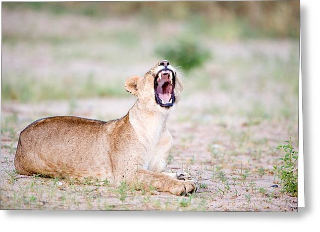 Female Animal Greeting Cards - Lioness Panthera Leo Yawning Greeting Card by Panoramic Images