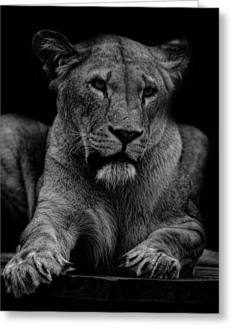 Nature Portrait Greeting Cards - Lioness Portrait Greeting Card by Martin Newman