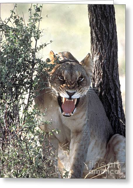 Lioness Greeting Cards - Lioness Roaring Greeting Card by Mark Newman
