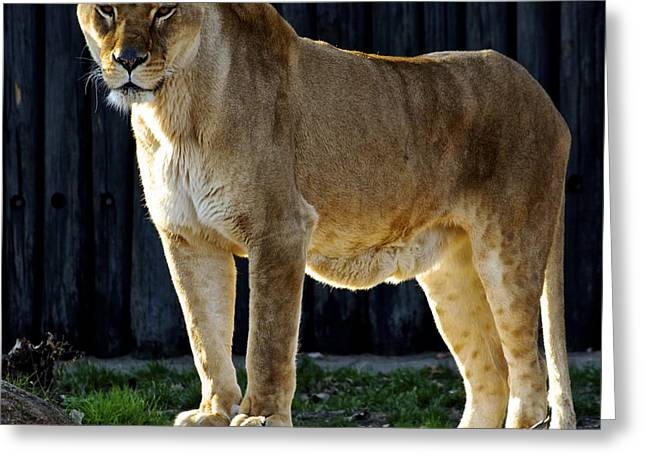 Lioness Greeting Card by Frozen in Time Fine Art Photography