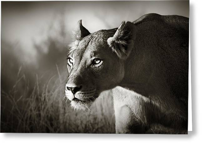 Monochrome Greeting Cards - Lioness stalking Greeting Card by Johan Swanepoel