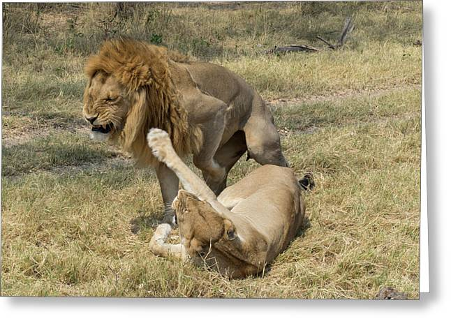 Lioness Taking Swipe At Male Lion Greeting Card by Panoramic Images