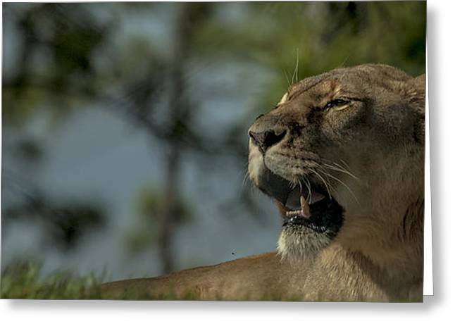 Lioness Greeting Cards - Lioness Voicing Opinion Greeting Card by Mark Fuge