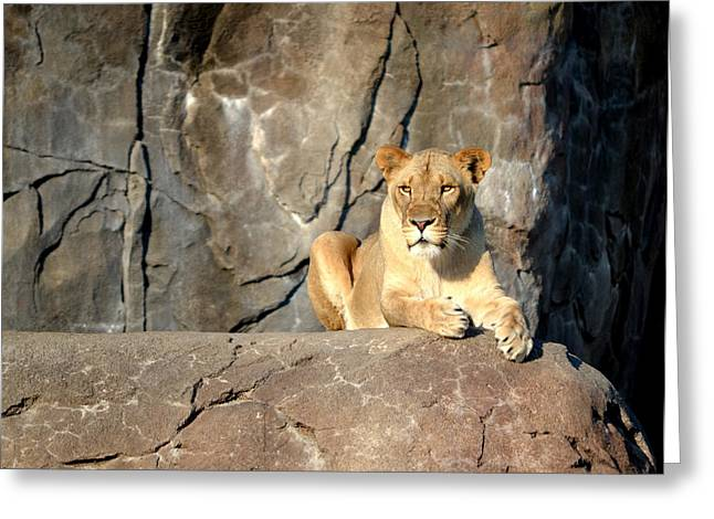 Ferocity Greeting Cards - Lioness Greeting Card by William Johnson