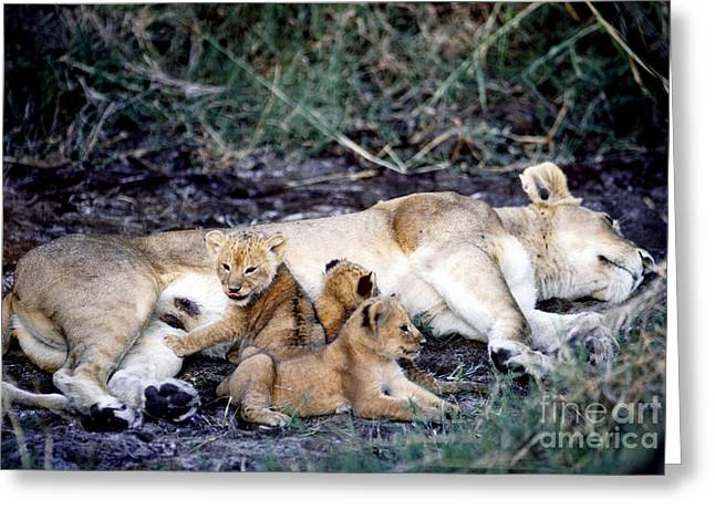 Lioness Greeting Cards - Lioness With 2-week Old Cubs, Tanzania Greeting Card by Gregory G. Dimijian