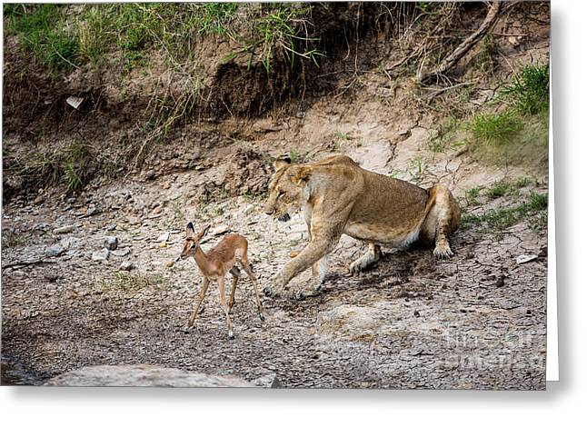 Lioness Greeting Cards - Lioness With Captured Impala Greeting Card by Greg Dimijian