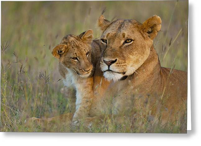 Simple Beauty In Colors Greeting Cards - Lioness With Cub At Dusk In Ol Pejeta Greeting Card by Ian Cumming
