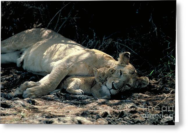 Lioness Greeting Cards - Lioness With Cub Greeting Card by Gregory G. Dimijian