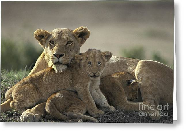 Lioness Greeting Cards - Lioness With Cubs Greeting Card by Mark Newman