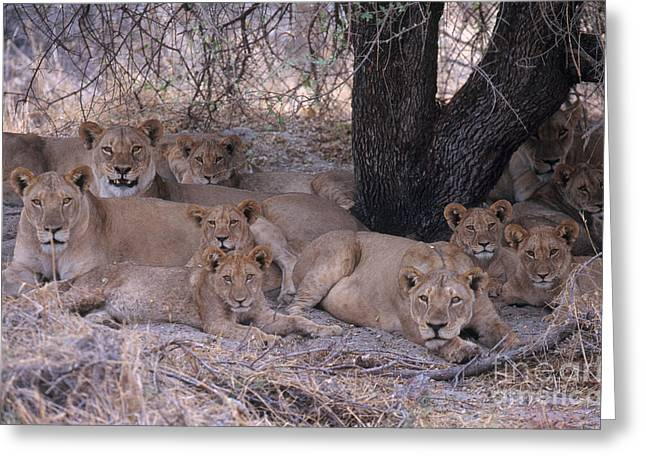 Lioness Greeting Cards - Lionesses And Cubs Greeting Card by Art Wolfe