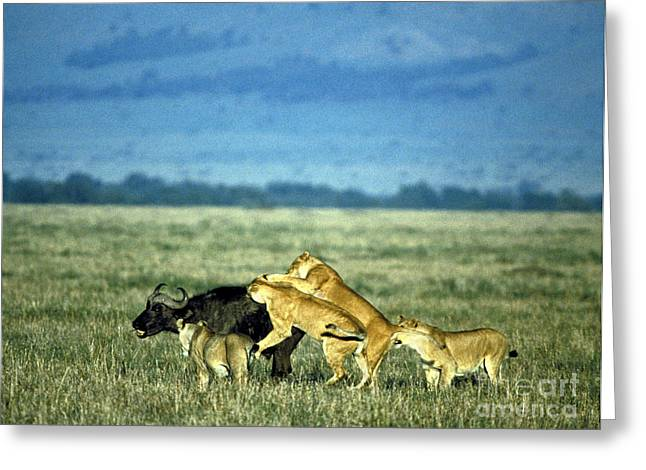 Lioness Greeting Cards - Lionesses Attack African Buffalo Greeting Card by Mark Newman