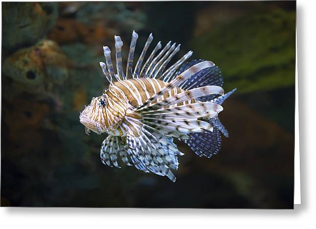 Lionfish Greeting Cards - Lionfish - Gatlinburg TN Ripleys Aquarium Greeting Card by Dave Allen