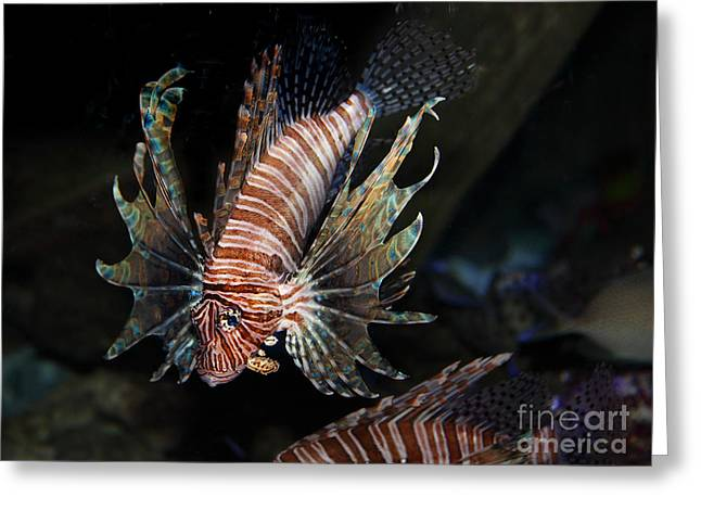 Lionfish Greeting Cards - Lionfish 5D24143 Greeting Card by Wingsdomain Art and Photography