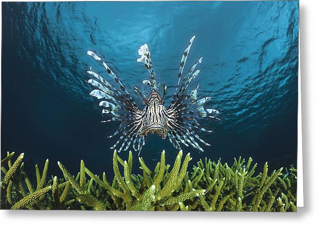 Wakatobi Greeting Cards - Lionfish _Pterois volitans__ Indonesia Greeting Card by Dave Fleetham