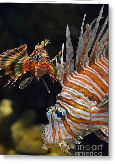 Underwater Photos Greeting Cards - Portrait of a Lionfish  Greeting Card by Jim Fitzpatrick